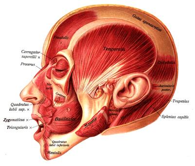 parietal fascia