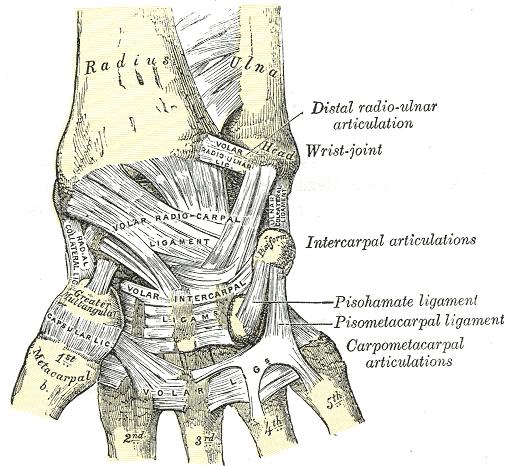Scar Ligament