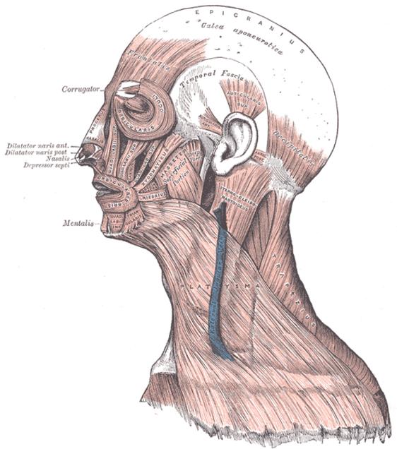 Skull Aponeurosis