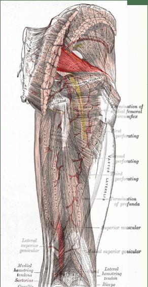Piriformis Sciatic Nerve