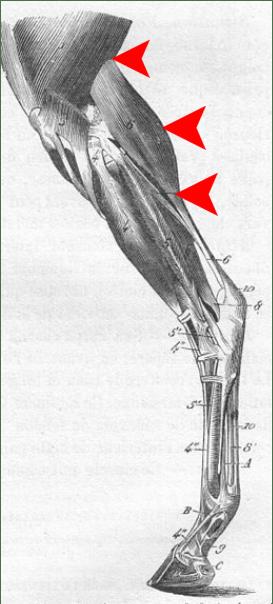 Scar Tissue Horse Hamstring
