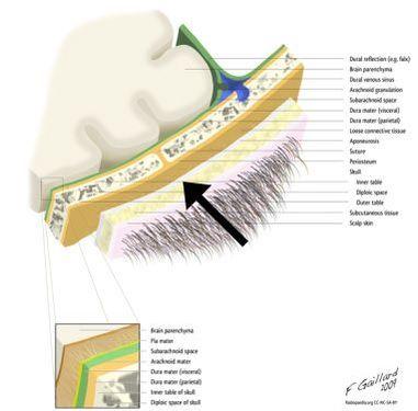 Epicranial Fascia