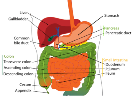 Gut Immune System