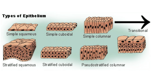 Epithelial Barrier System