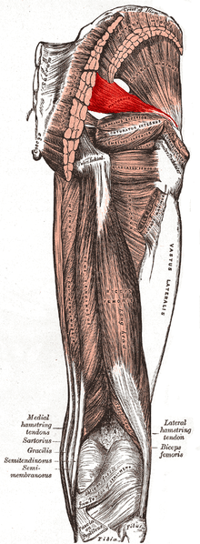 Piriformis Syndrome Muscle