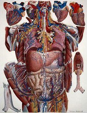 Fascia Organs