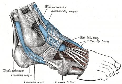 Anterior Tibial Tendinosis