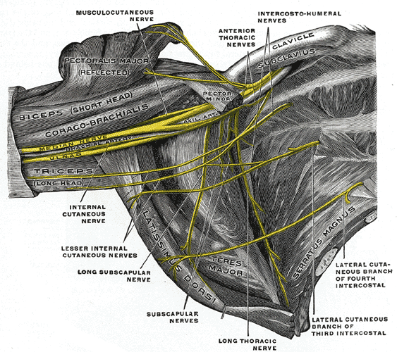 Thoracic Outlet Syndrome Brachial Plexus