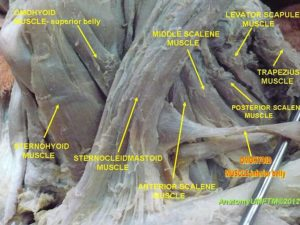 Fibroblastic Activity