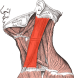Trigger Points Neck Pain