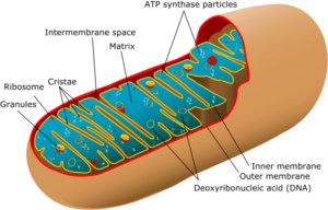 mitochondrial function / dysfunction