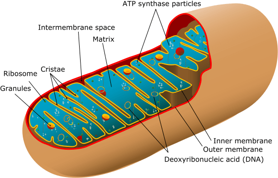 Mitochondrial Dysfuntion