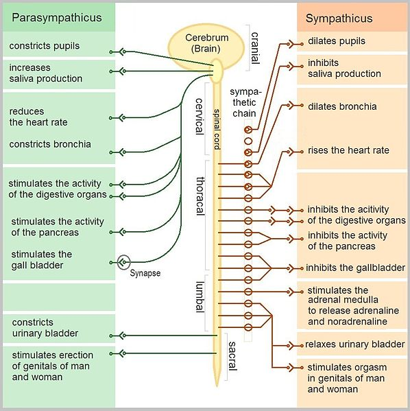 Sympathetic Nervous System Inflammation