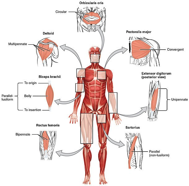 Fascia Autoimmune Diseases
