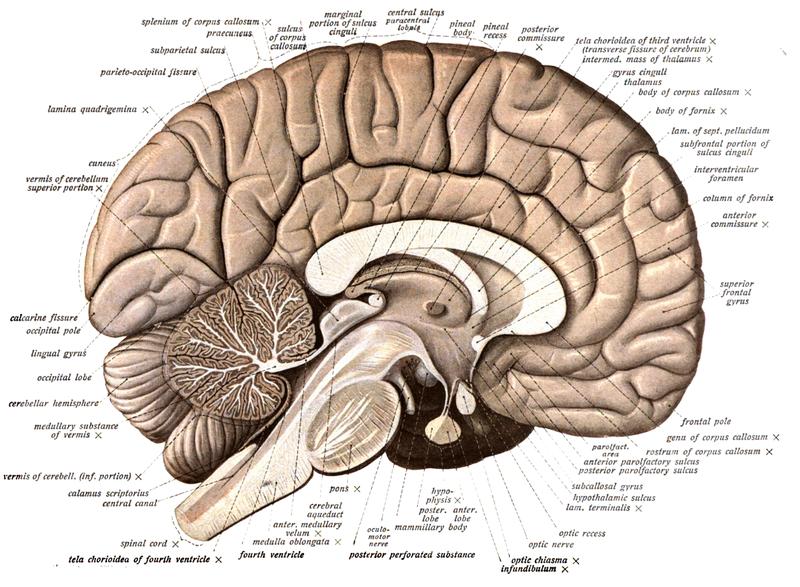 Whiplsash Neck Fascia Brain