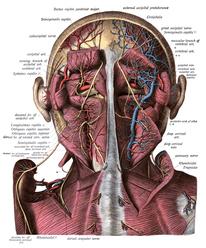 Neck Fascia Brain