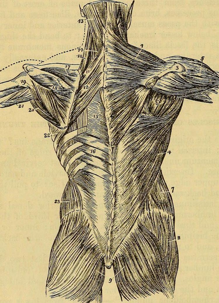 Cluneal Nerve Entrapment Fascia