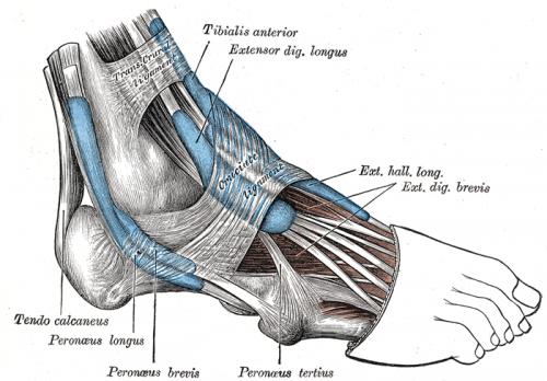 Ankle Tendinosis