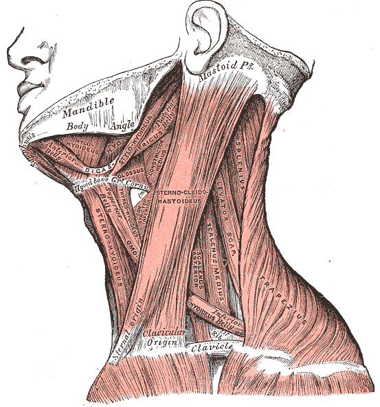 Hyaluronic Acid Fascia
