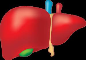 liver biotransformation