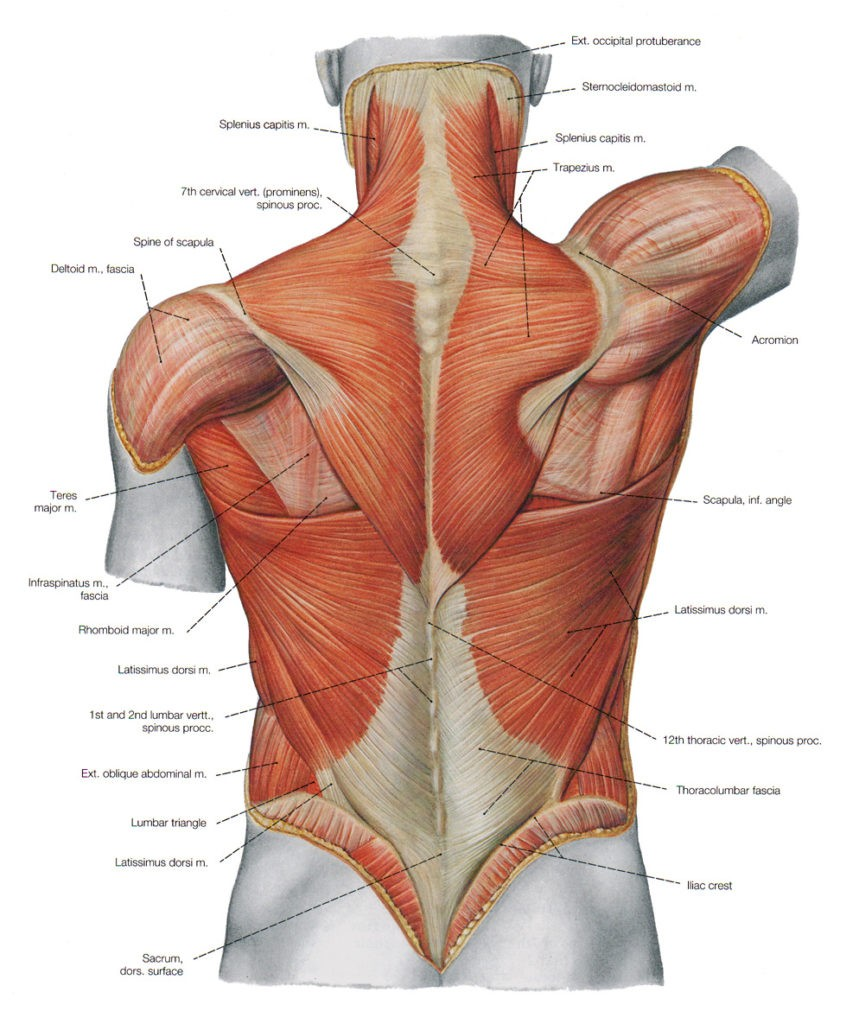 Thoracolumbar Fascia: Fascia Videos of Both Normal and Abnormal Motion