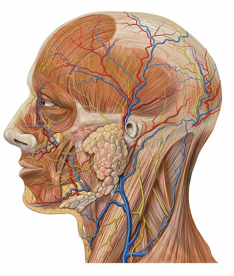 Skull Pain by Patrick J. Lynch, medical illustrator; C. Carl Jaffe, MD, cardiologist